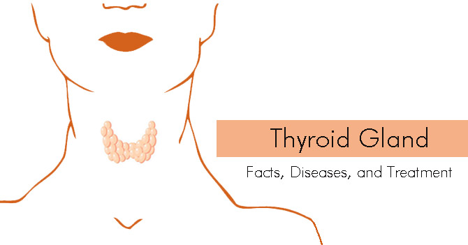 Thyroid Gland: Facts, Diseases, and Treatment
